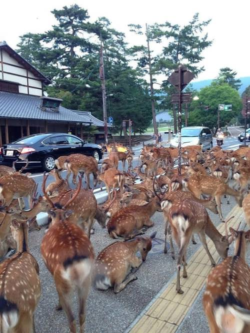 Deer in the streets of Nara