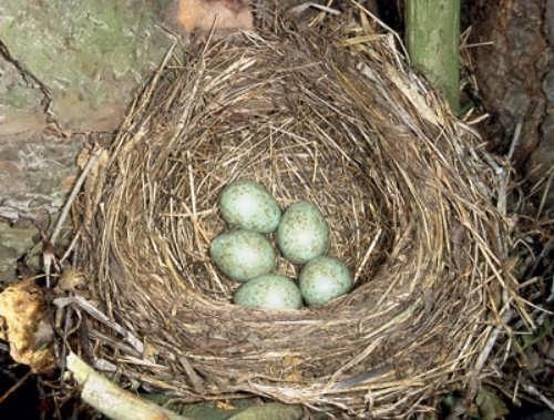 Nest of blackbird