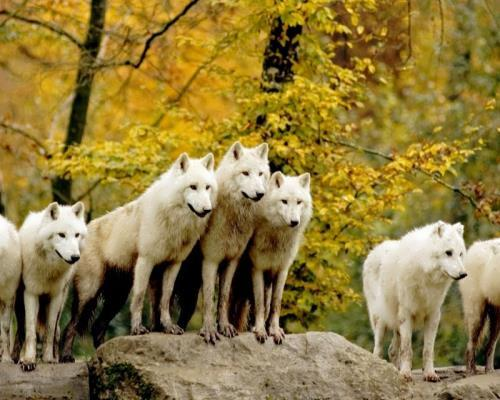 Pack of white wolves