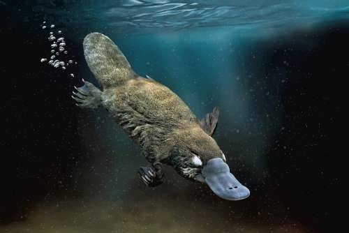 Pretty Platypus