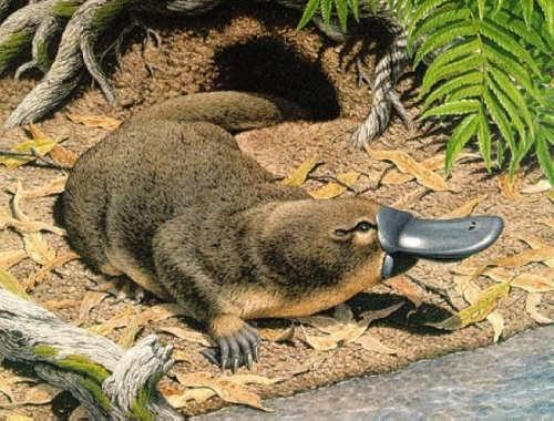 Lovely Platypus