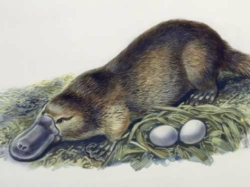 Charming Platypus
