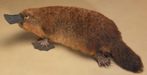 Attractive Platypus