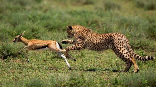The cheetah hunts antelope