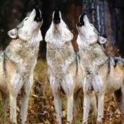 Three wolves howling together