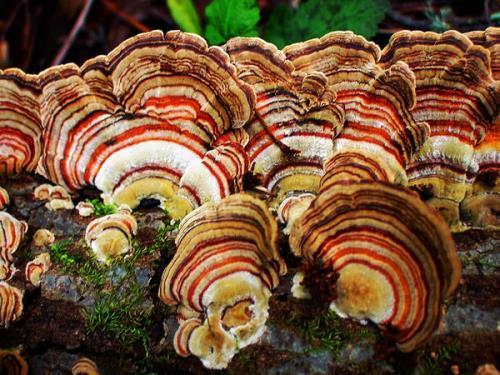 Trametes versicolor, Coriolus versicolor