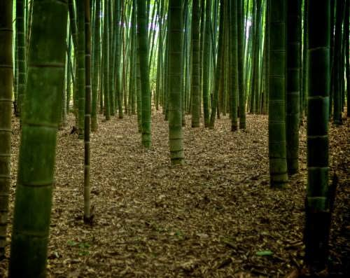 Magnificent bamboo