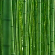 Graceful bamboo