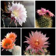 Pretty cactuses