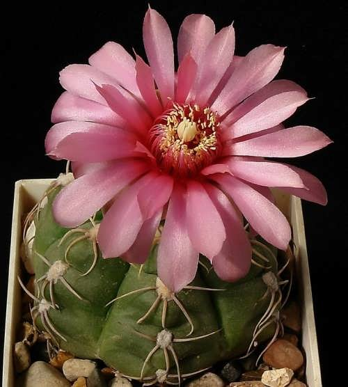 Attractive cactus