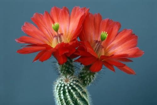 Lovely cactus