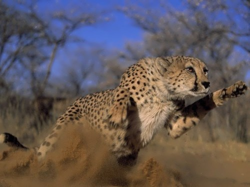 Graceful cheetah