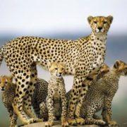 Lovely cheetahs