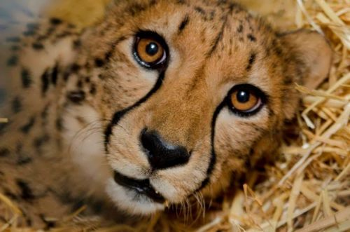 Gorgeous cheetah
