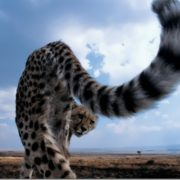 Stunning cheetah