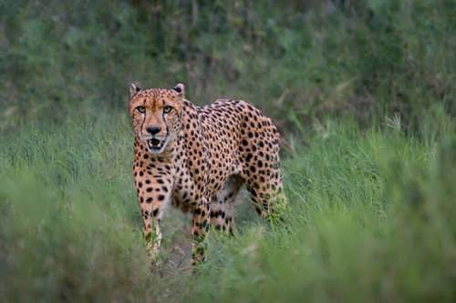 Pretty cheetah