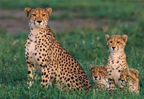 Cheetah – fastest animal