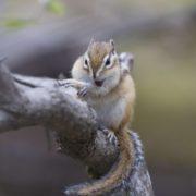 Pretty chipmunk