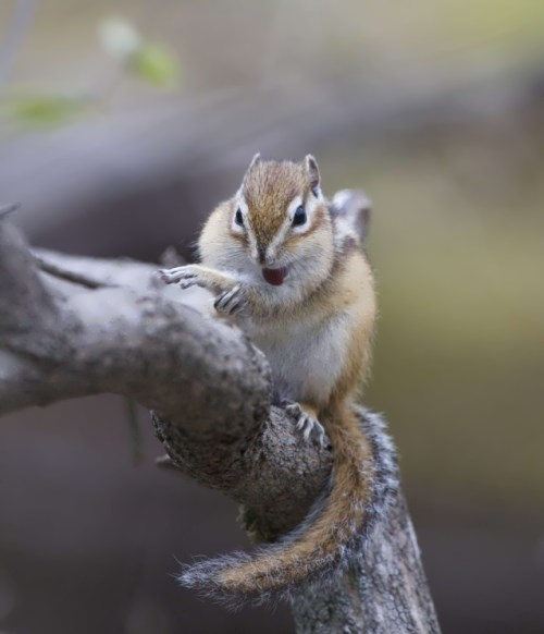 Pretty chipmunk