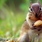 Attractive chipmunk