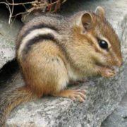 Beautiful chipmunk