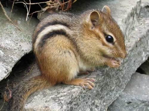 Beautiful chipmunk