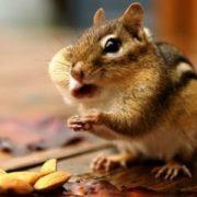 Interesting chipmunk