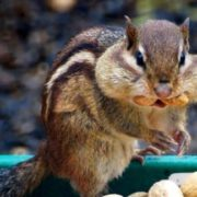 Lovely chipmunk