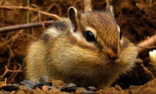 Graceful chipmunk