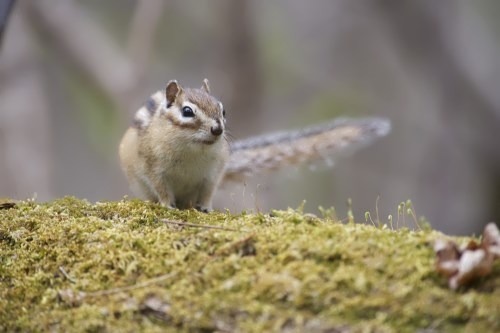 Gorgeous chipmunk