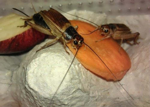 Crickets are having dinner