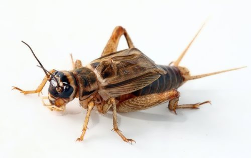 Amazing cricket