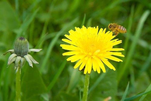 dandelion and bee
