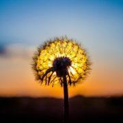 Dandelion – symbol of the sun