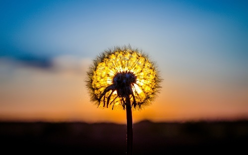 Dandelion – symbol of the sun
