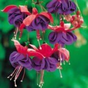 Stunning fuchsia