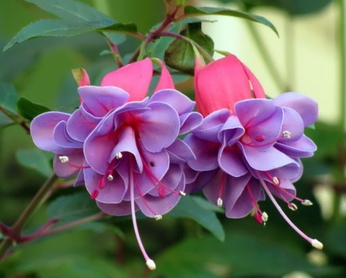 Pretty fuchsia
