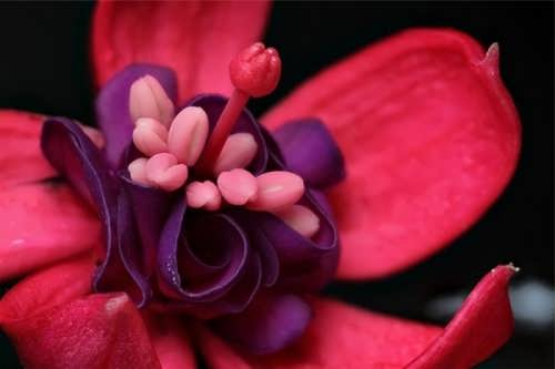 Attractive fuchsia