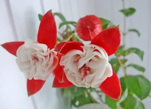 Pretty fuchsia