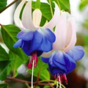 Graceful fuchsia