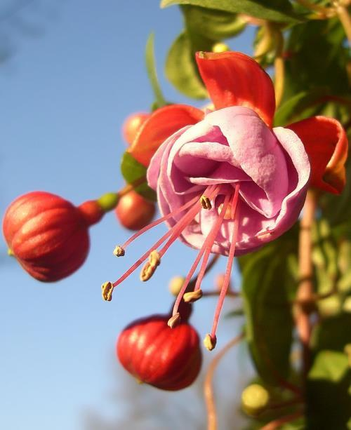 Magnificent fuchsia