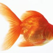 Wonderful goldfish