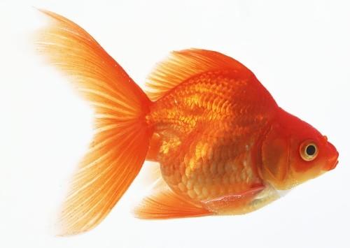 Wonderful goldfish