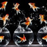 Beautiful goldfish
