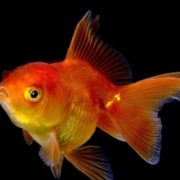 Amazing goldfish