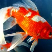 Charming goldfish