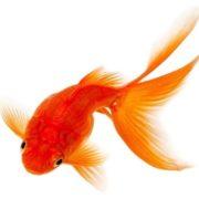 Amazing goldfish