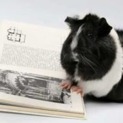 guinea pig is reading