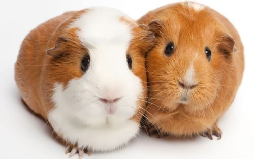 Wonderful guinea pigs