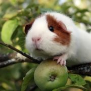 guinea pig and green apple